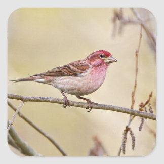 USA, Colorado, Frisco. Cassin's finch on limb. Square Sticker