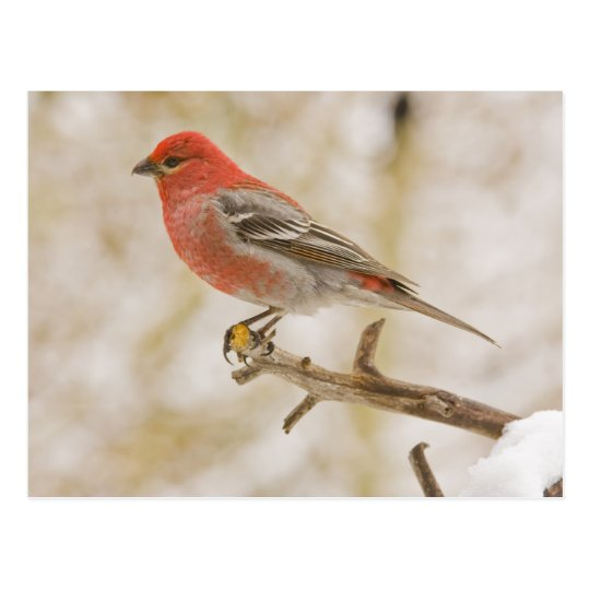 USA, Colorado, Frisco. Male pine grosbeak Postcard