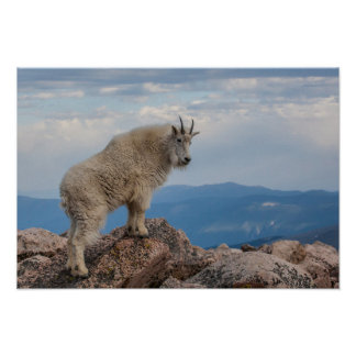 USA, Colorado, Mt. Evans. Mountain Goat Stands Poster