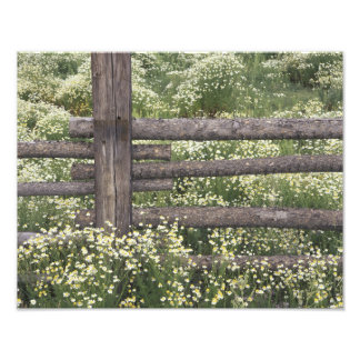USA, Colorado, Wild Chamomile around log fence Photo