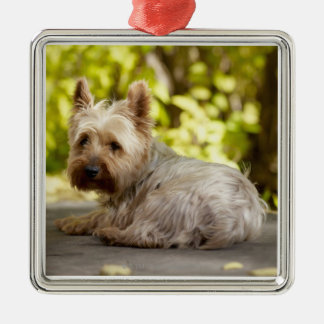 USA, Colorado, Yorkshire terrier lying down and Metal Ornament