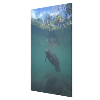 USA, FL, Manatee Canvas Print