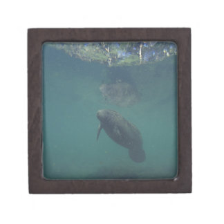 USA, FL, Manatee Premium Jewelry Boxes