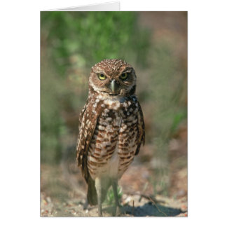 USA, Florida, Burrowing Owl. 2 Card
