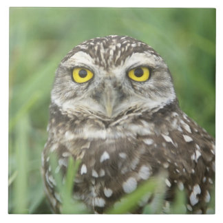 USA, Florida, Cape Coral, Burrowing Owl (Athene Ceramic Tiles