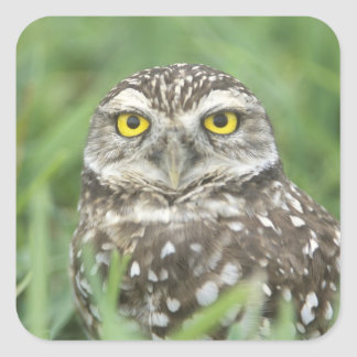 USA, Florida, Cape Coral, Burrowing Owl (Athene Square Sticker