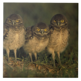 USA, Florida, Cape Coral. Three Burrowing Owls Tile