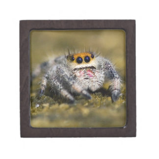 USA, Florida. Close-up of jumping spider. Credit Premium Jewelry Box