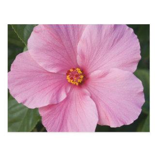 USA, Florida, Sanibel, Hibiscus Rose of Postcard