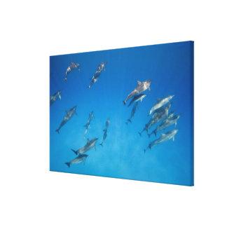 USA, Hawaii, Big Island, Underwater view of 2 Canvas Print