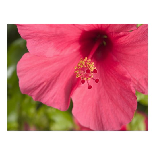 USA, Hawaii, Kauai, Hibiscus Postcard