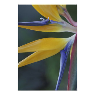 USA, Hawaii, Maui, Hana, Bird of Paradise Poster