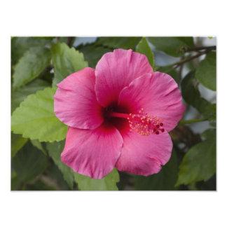 USA, Hawaii, Oahu. The Hibiscus is the 2 Photo