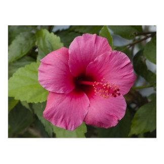USA, Hawaii, Oahu. The Hibiscus is the 2 Postcard