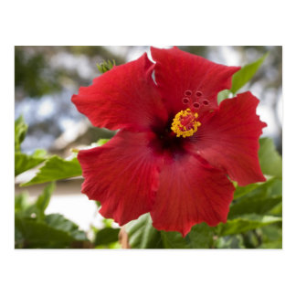 USA, Hawaii, Oahu. The Hibiscus is the Postcard