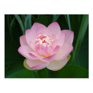 USA, Kansas, Pink Water Lilly Postcard