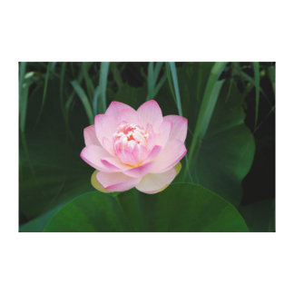 USA, Kansas, Pink Water Lilly Stretched Canvas Print