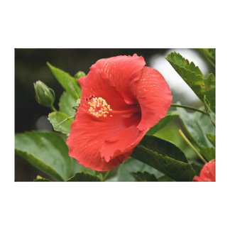 USA, Kansas, Red Hibiscus Canvas Print