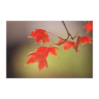 USA, Kansas, Red Leaves In Early Fall Gallery Wrap Canvas