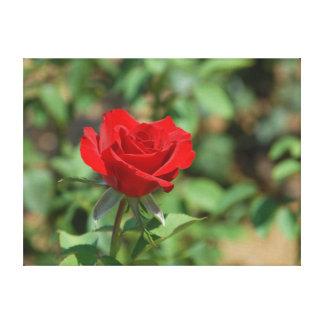 USA, Kansas, Red Rose Canvas Prints