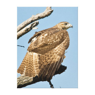 USA, Kansas, Red Tailed Hawk Preening In Tree Stretched Canvas Print
