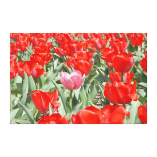 USA, Kansas, Red Tulips With One Pink Tulip Stretched Canvas Print