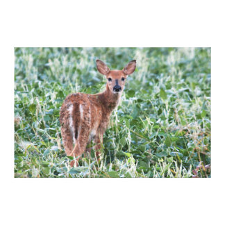 USA, Kansas, Small Whitetail Deer Stretched Canvas Prints