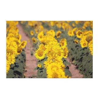 USA, Kansas. Sunflowers (Helianthus Annuus) Canvas Prints