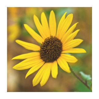 USA, Kansas. Wild Sunflower Stretched Canvas Print