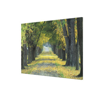 USA, Kentucky, Louisville. Tree-lined road in Stretched Canvas Prints