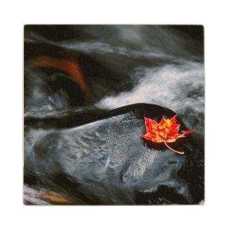 USA, Maine. Maple leaf on black rock in stream Wood Coaster