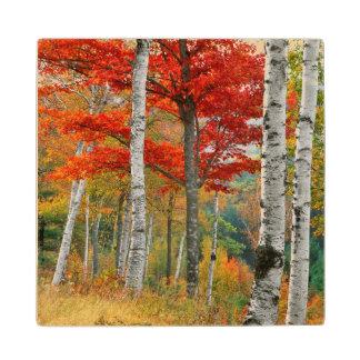 USA, Maine, Wyman Lake. Forest Of Birch Wood Coaster
