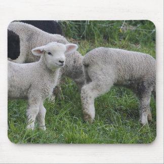 USA, Massachusetts, Shelburne. Lambs walk and Mouse Pad
