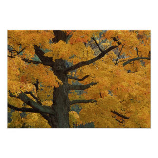 USA, Michigan, Close-up of sugar maple tree in Poster