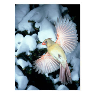 USA, Minnesota, Mendota Heights, Female Cardinal Postcard