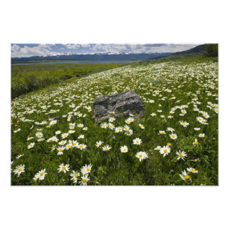 USA, Montana, Wild Daisy blooming in meadow by Photographic Print