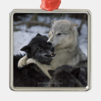 USA, Montana, Wolves playing in snow Metal Ornament