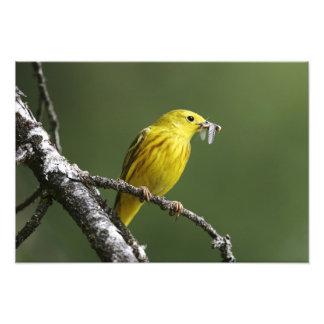 USA, Montana, yellow warbler Dendroica Photo Art