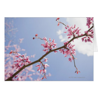 USA, New Jersey, Eastern Redbud Tree Card