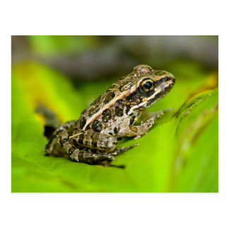 USA, New Jersey, Morristown. Young Pickerel Frog Postcard