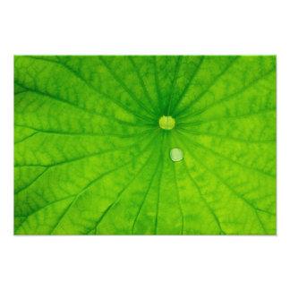 USA; North Carolina; Lotus leaf with dew drop Photograph