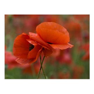 USA, North Carolina. Two red poppies Postcard