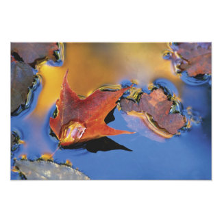 USA, Northeast, Maple Leaf in Reflection Art Photo