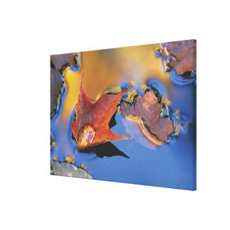 USA, Northeast, Maple Leaf in Reflection Gallery Wrapped Canvas