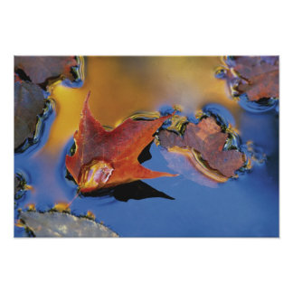 USA, Northeast, Maple Leaf in Reflection Poster