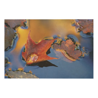 USA, Northeast, Maple Leaf in Reflection Wood Prints