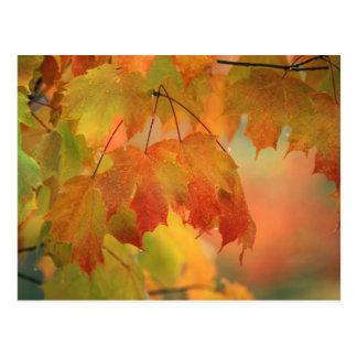 USA, Northeast, Maple Leaves in Rain. Credit as: Postcard