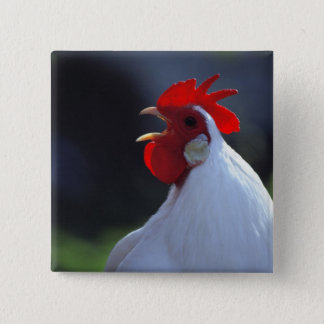USA, Oregon, Eugene. A white rooster greets 2 Inch Square Button
