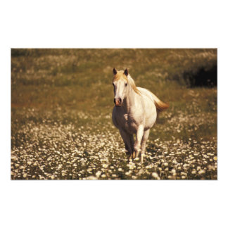 USA, Oregon. Horse in a field of daisies Photo Print