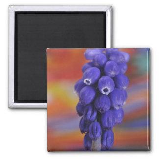 USA, Oregon, Portland. Close-up of blue grape Square Magnet